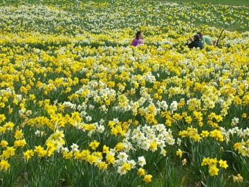 golocalworcester dont miss 25000 daffodils blooming at tower hill botanic garden - Tower Hill Botanic Garden