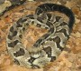 Plan for a timber rattlesnake colony suspended