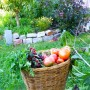 Herbs + tomatoes: baskets of bounty of late September mark the urban garden.