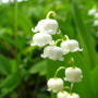 Lily of the valley, the fragrance of spring.